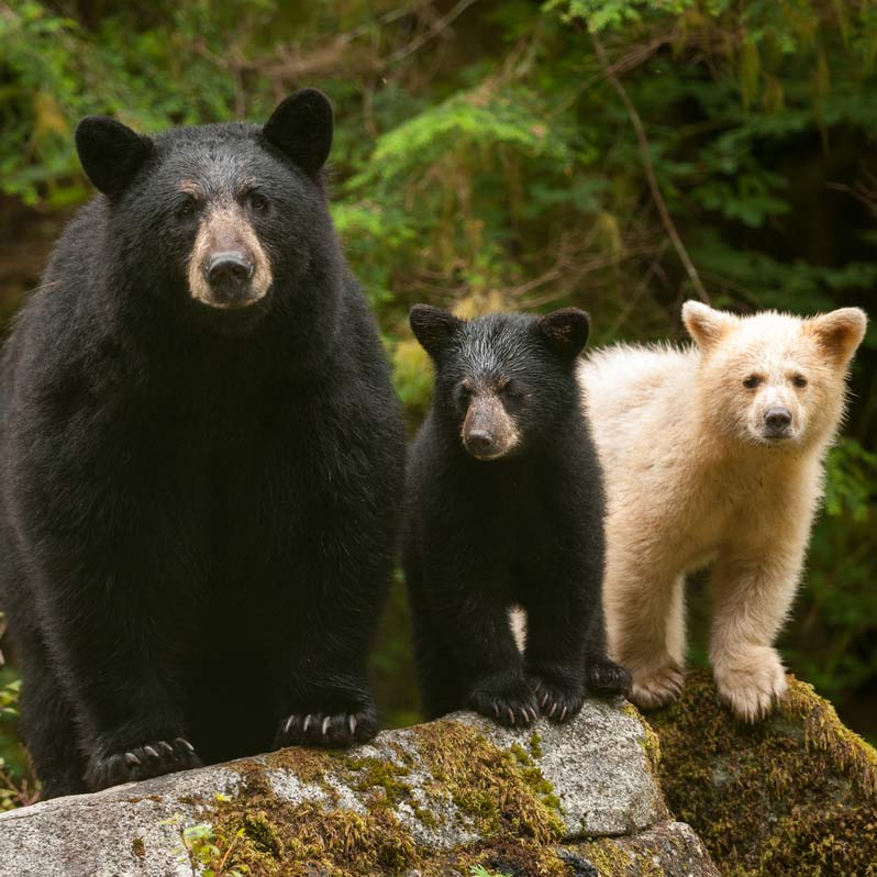 Black Bear Mother and Cub and Spirit Bear Cub