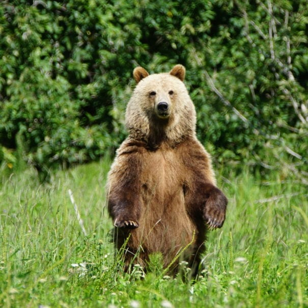 Bears - Grizzly Standing